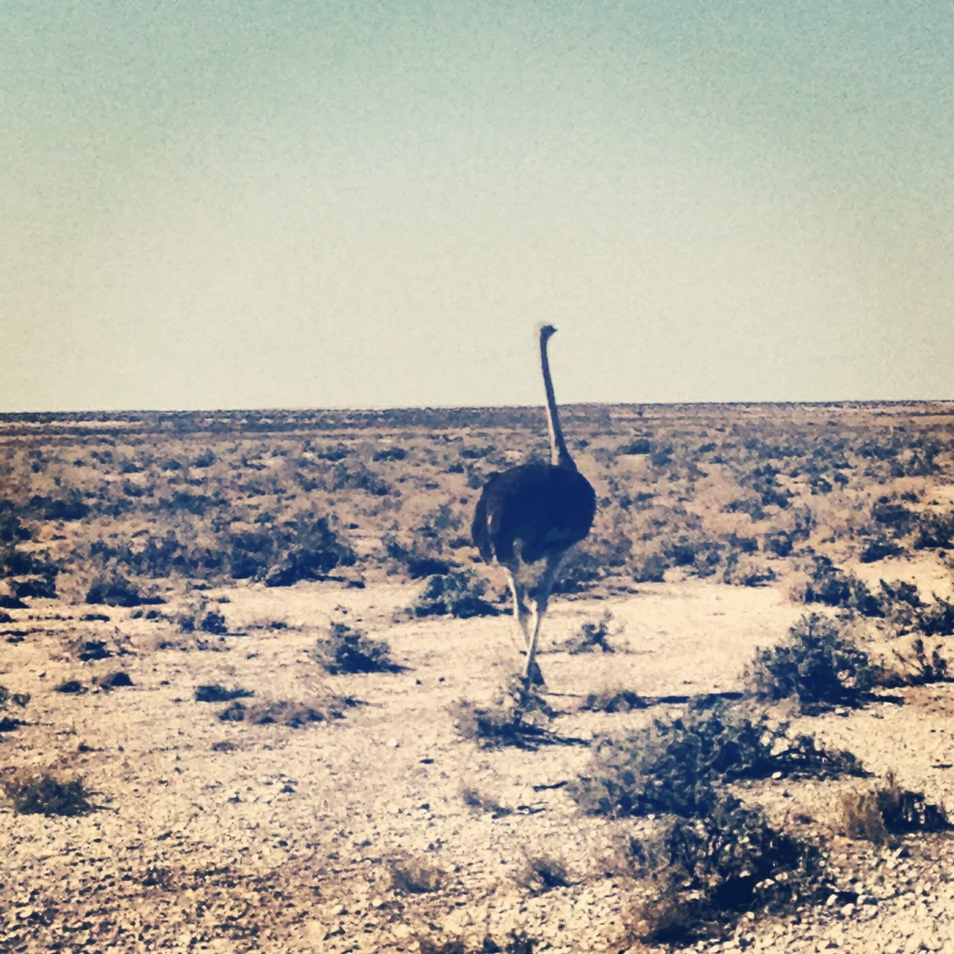 Afrikanischer Strauß Namibia