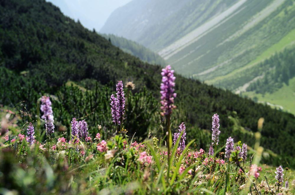 Alpenblumen im Lechtal