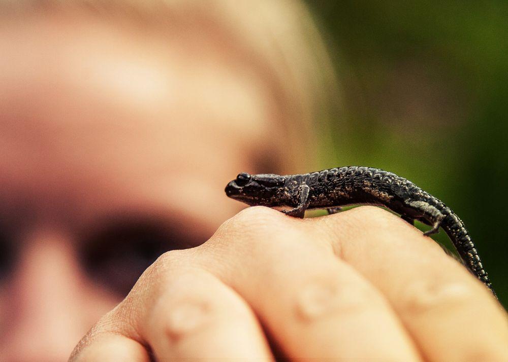 Tiere am E5: Der Alpensalamander