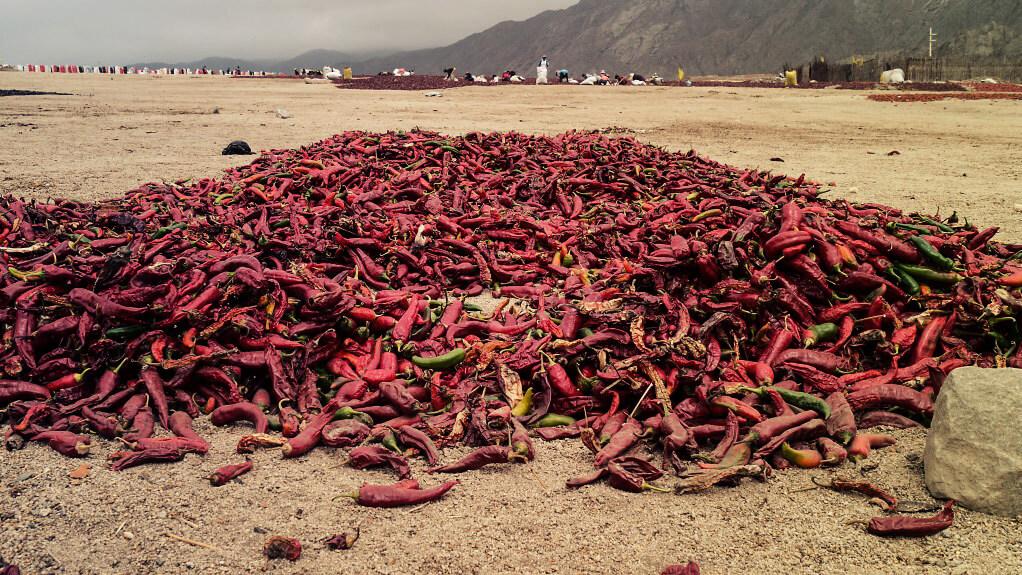 Peperoni werden zum Trocknen ausgelegt