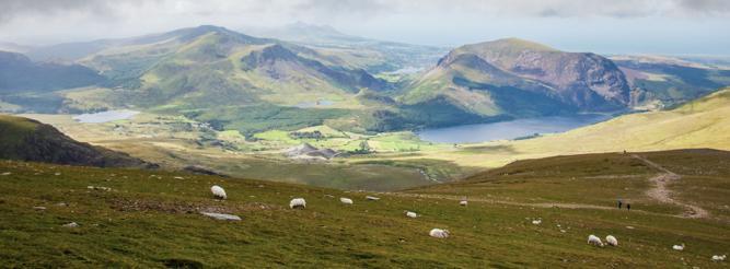 Schafe am Mount Snowdon