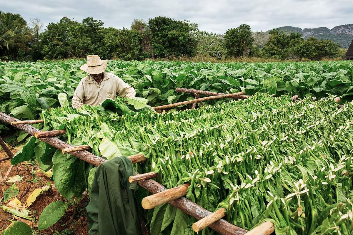 Tabakplantage Kuba