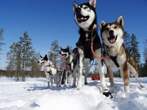 Huskytour Finnisch Lappland