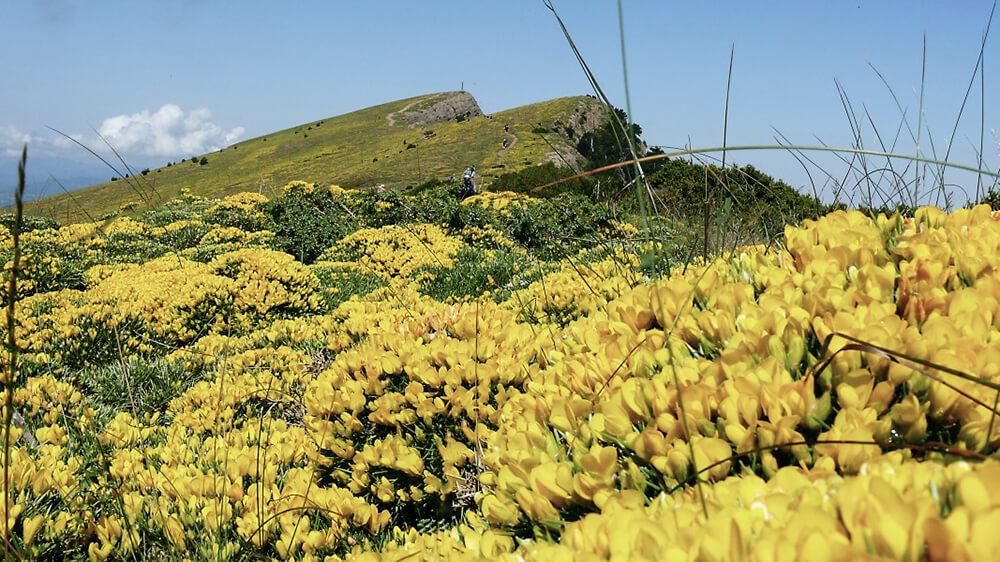 Gelbes Blütenmeer aus Ginster