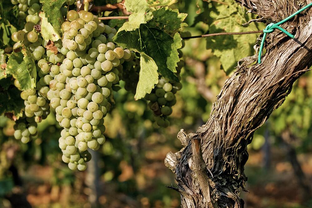 Weinanbau in Kroatien