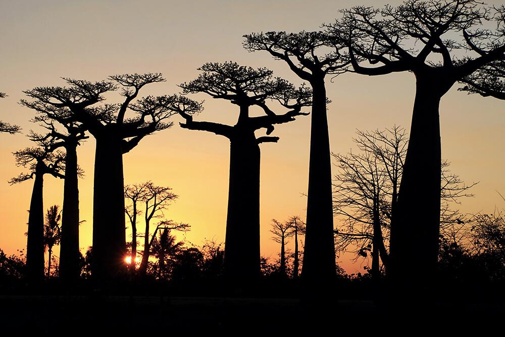 Affenbrotbäume im Abendlicht Diese Bäume könne eine Höhe von bis zu 30 Metern erreichen.