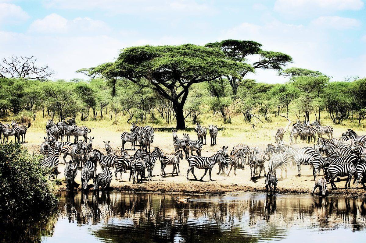 Giraffen Wasserloch