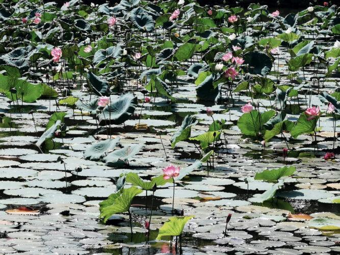 Rosa blühende Seerosen auf einem Teich