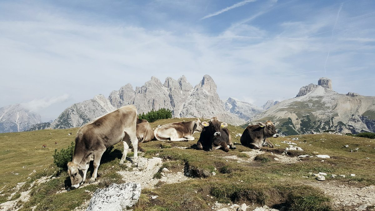 Kühe Dolomiten