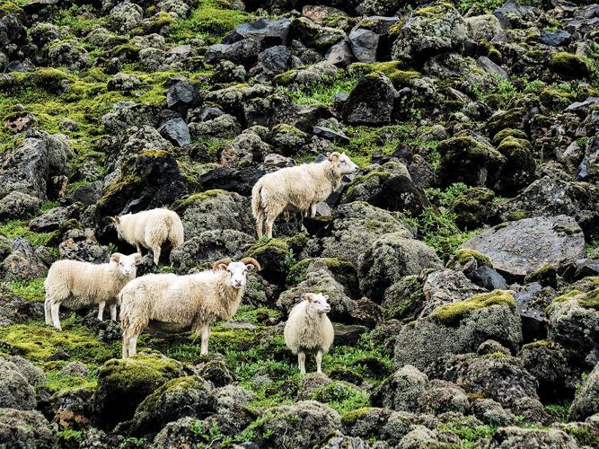 Schafe auf Island