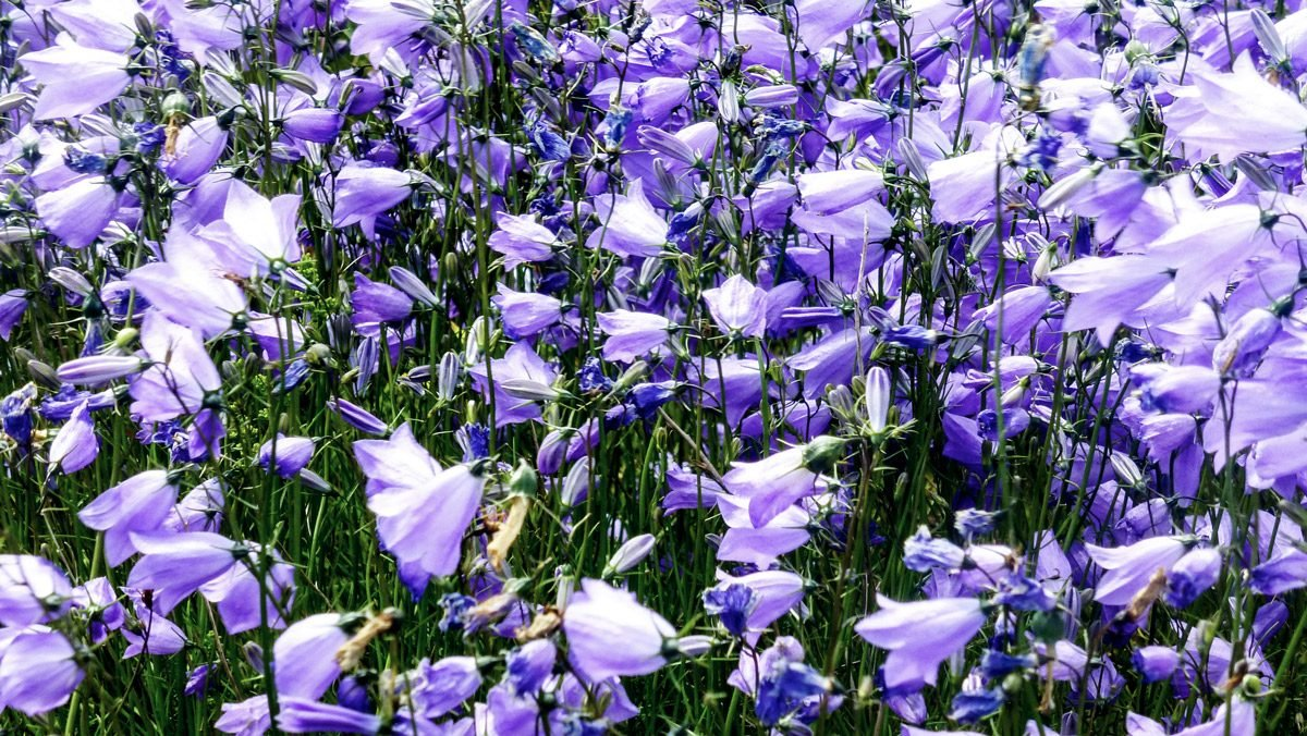 Glockenblumen violett