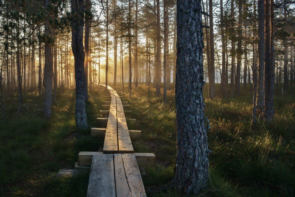 Holzsteg ueber Moor durch Wald mit Sonnenuntergang