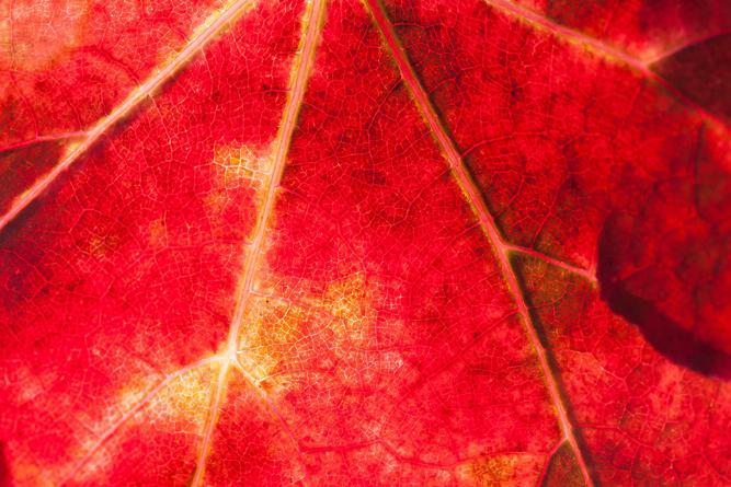 rotes Herbstblatt Nahaufnahme
