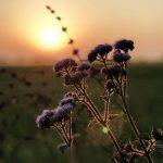 Eine lila Blume vor einem Sonnenuntergang.
