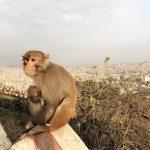 Ein Affe auf einer Mauer. Im Hintergrund tibetische Flaggen und eine Stadt