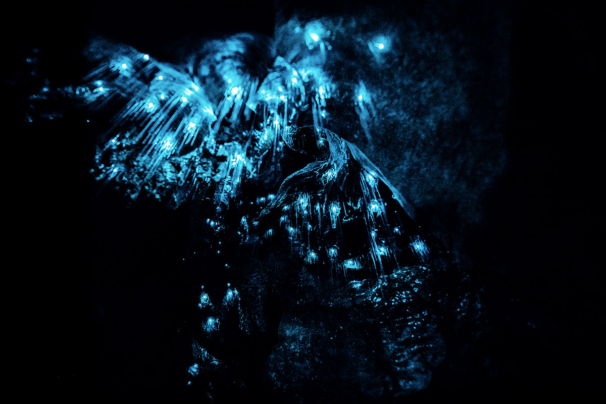 Glow Worms in Waipu Cave im Norden Aucklands, Neuseeland