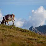 Eine braun gefleckte Kuh auf einer Almwiese