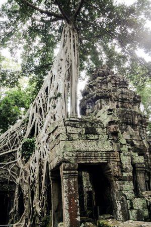 Angkor Wat Wurzeln, Kambodscha