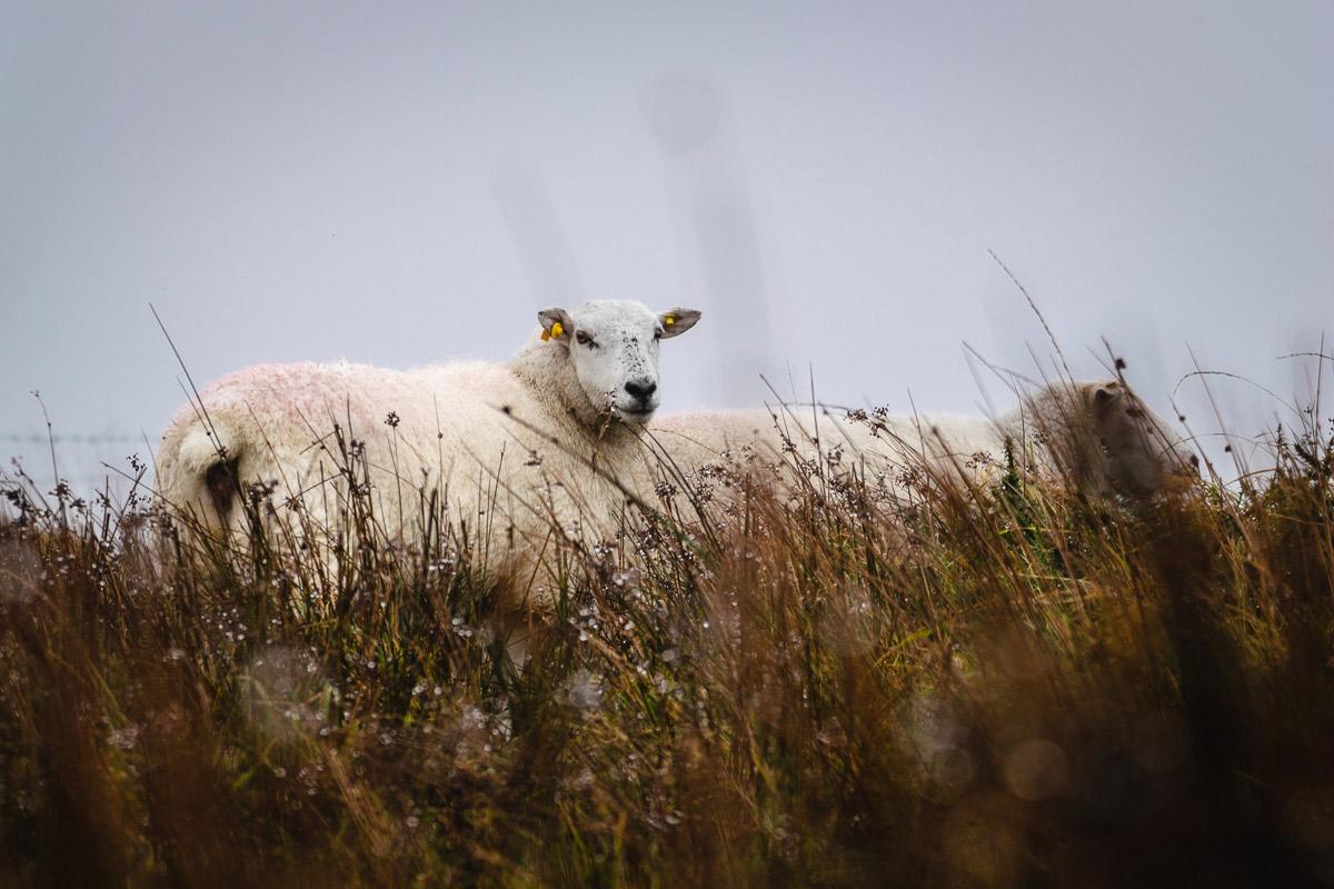 Unterwegs begegnen wir mehr Schafen als Menschen