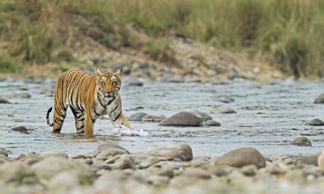 Königstiger in einem Fluss im Corbett-Nationalpark, Indien