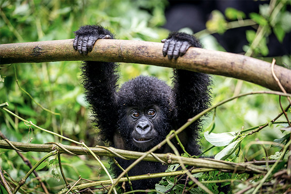 Berggorillas im Virunga Nationalpark, Ruanda