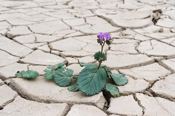 Blume in Wüste. Death Valley USA