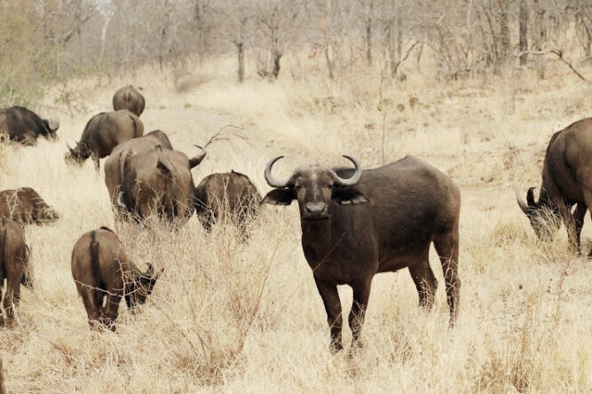 Herde Büffel beim Grasen, Südafrika