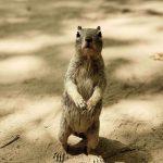Eichhörnchen im Zion Nationalpark. © Carmel Rossen