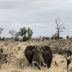 Elefant liegend von vorne, Kruger Nationalpark