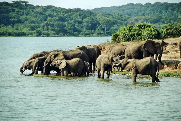 elefanten-queen-elizabeth-nationalpark-uganda