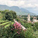 Schönes Panorama auf Weinberge, Meran und einen rosa Busch.