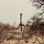 Giraffe von hinten, Kruger Nationalpark