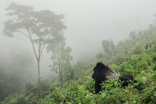 Silberrücken Gorilla, Uganda