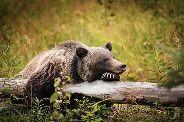 Grizzly Bär im Banff Nationalpark, Kanada