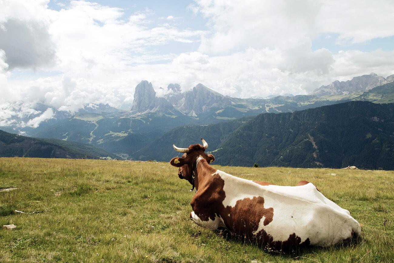 Kuh Dolomiten