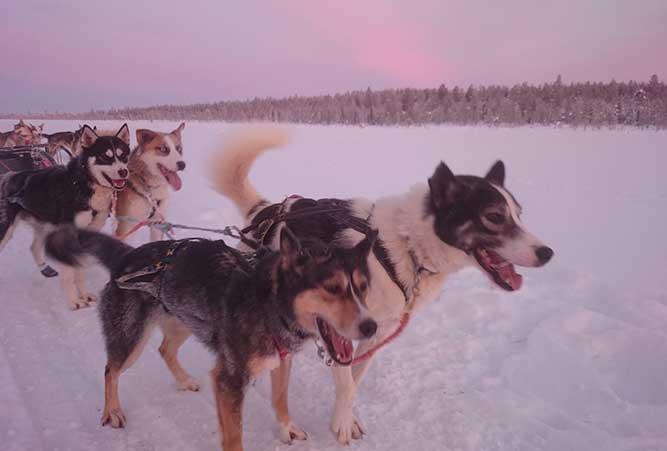 hunde sascha