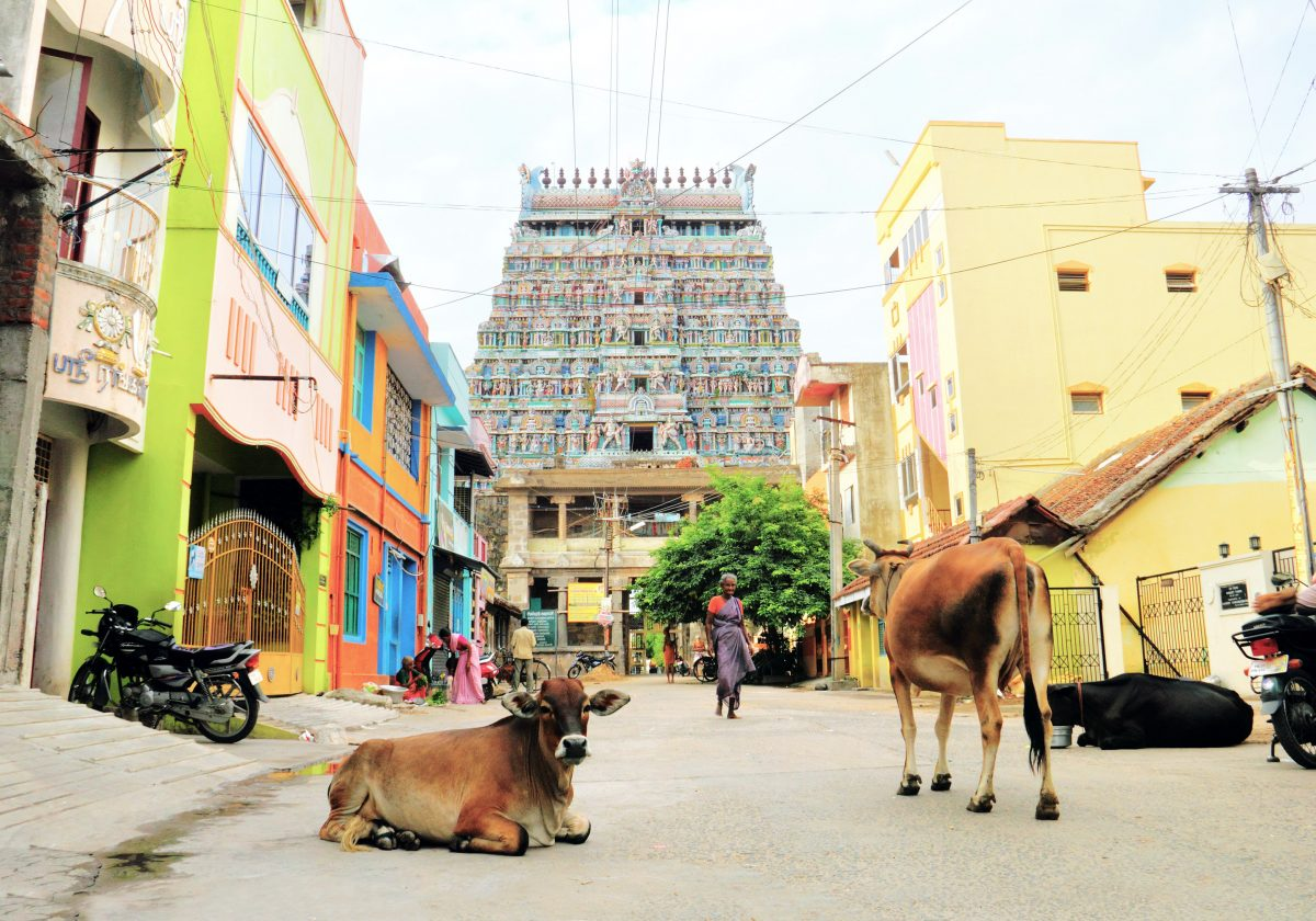 Kühe stehen und liegen vor dem Tempel Tillai Nataraja in Indien.
