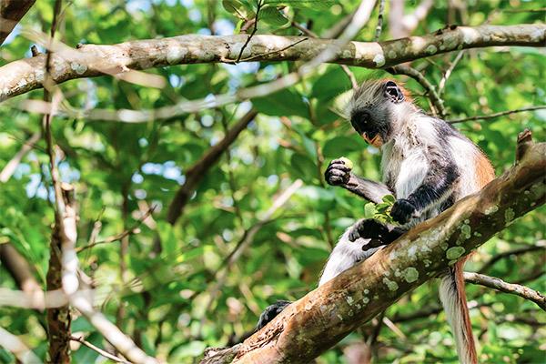 Jozani Forest, Sansibar