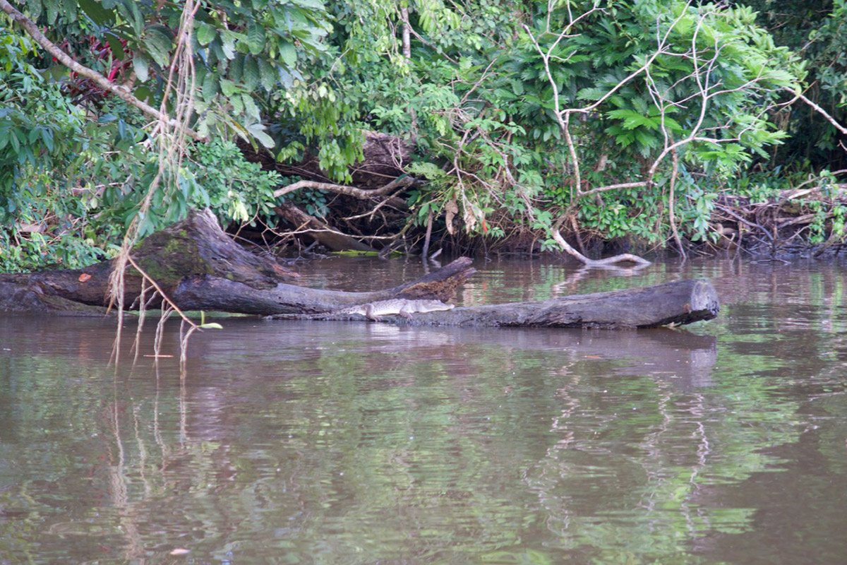 Junges Krokodil auf einem Baumstamm am Rande des Flusses