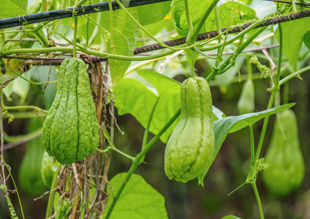 grüne frucht an ast