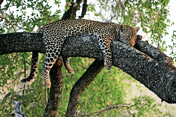 Leopard im Krüger Nationalpark, Südafrika