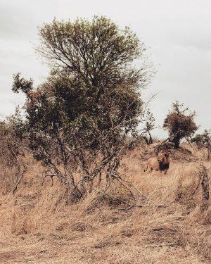 Löwe neben Gebüsch, Südafrika