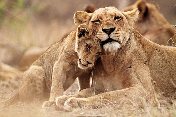 Löwin mit ihrem jungen im Krüger Nationalpark, Südafrika