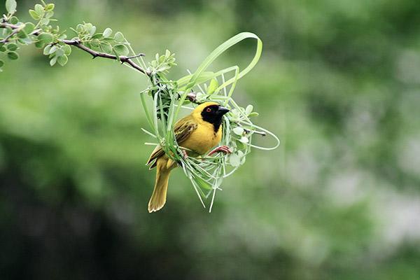 Maskenweber in seinem Nest