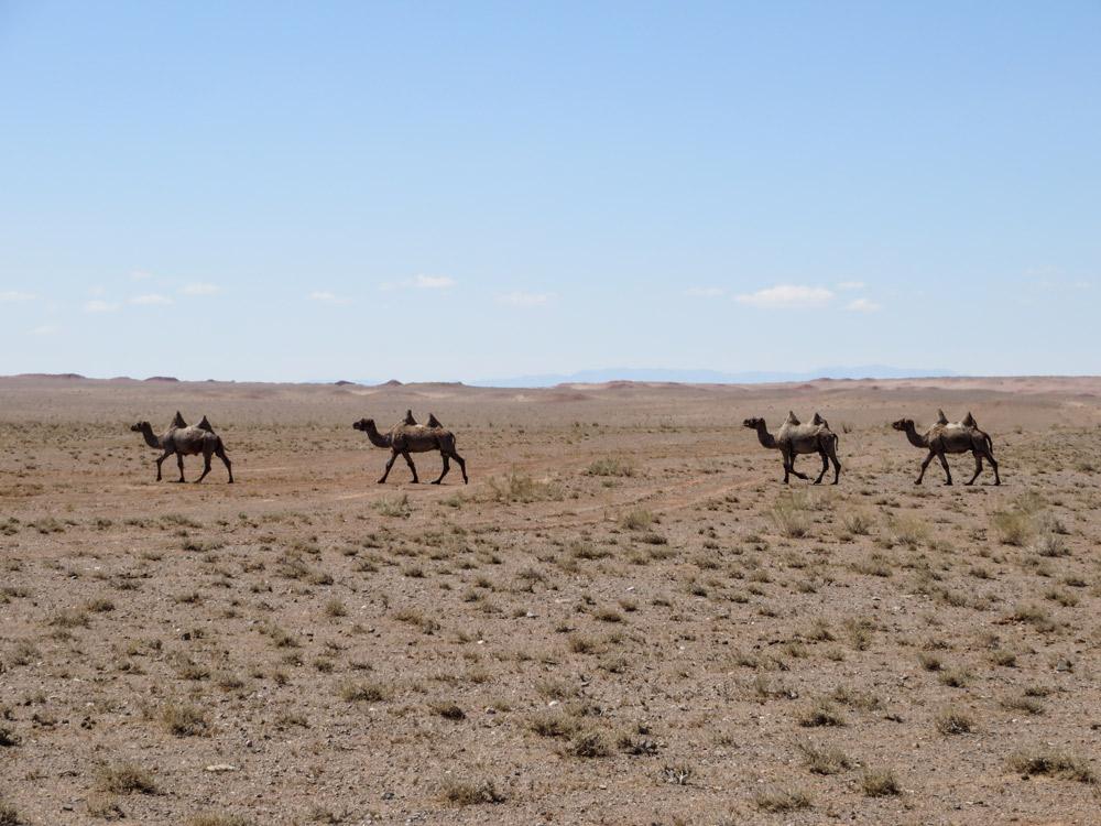 Vier Kamele auf Steppe vor blauem Himmel und Horizont