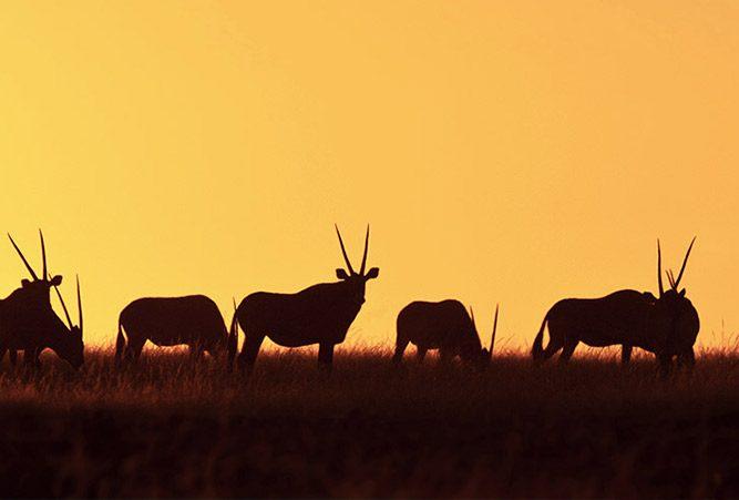 Panoramablick auf Antilopen im Abendlicht
