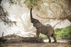 Junger Elefant der mit dem Rüssel nach Blättern über ihm greift