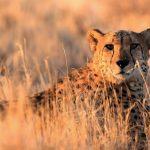 Gepard in Abendsonne