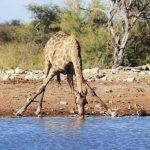 Giraffe über einem Wasserloch