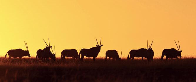 Headerbild. Antilopen vor einem Sonnenuntergang